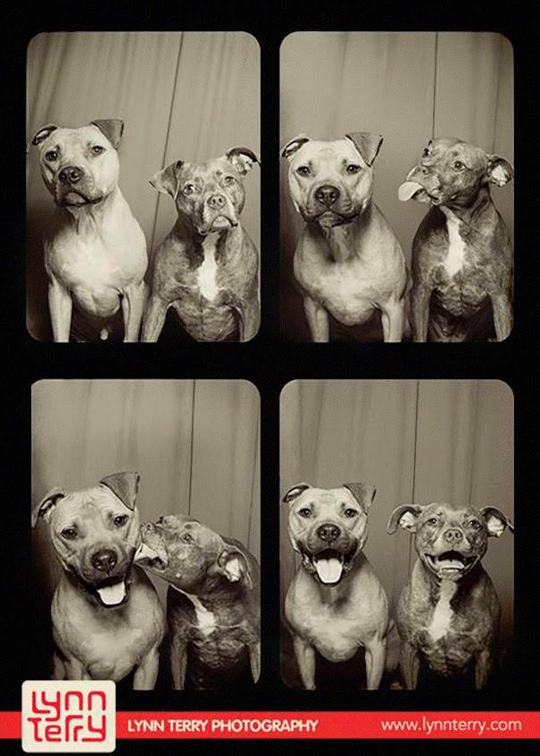 sesion de fotos de pitbulls