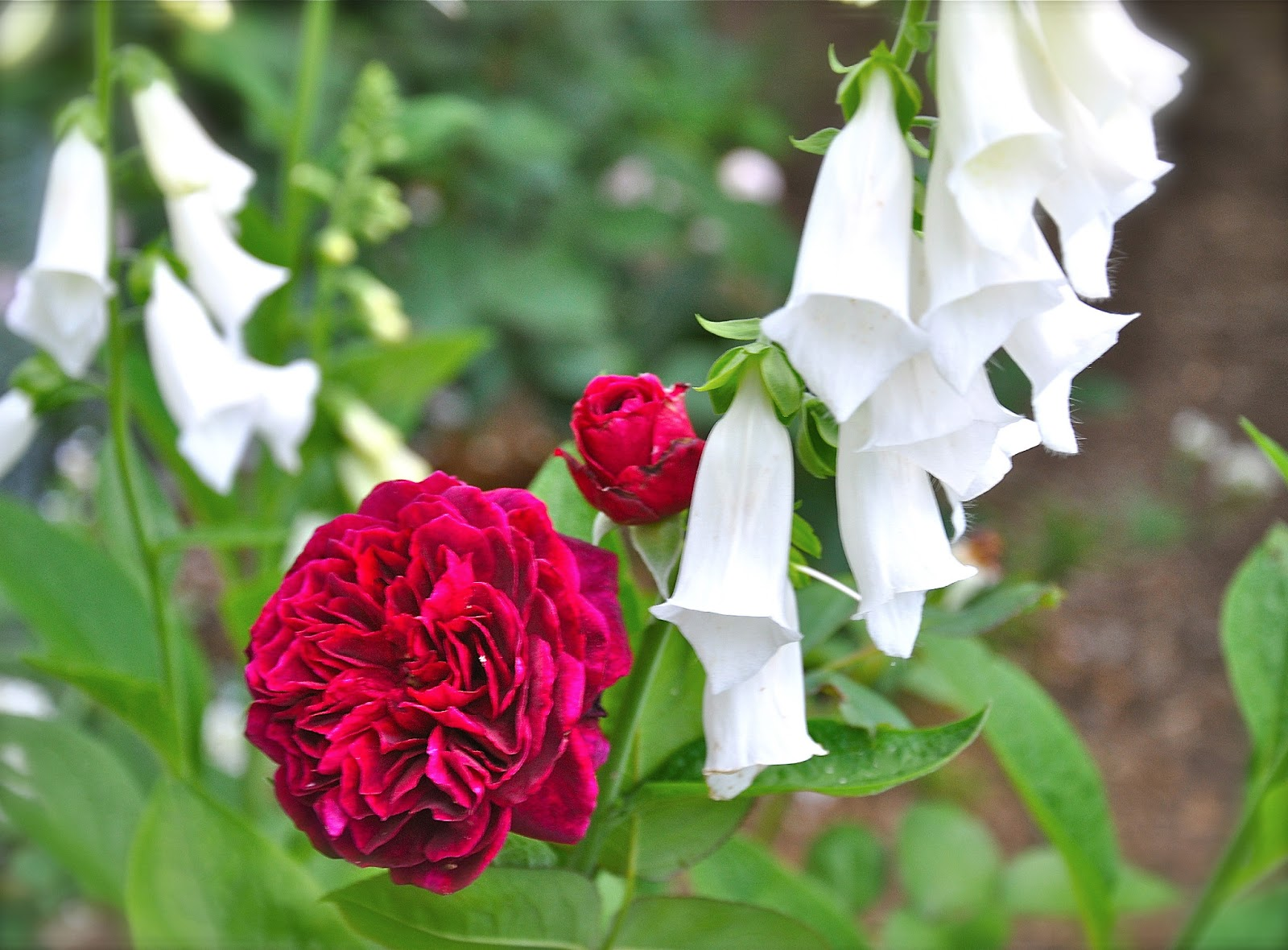 How to prune a rose bush -  When And How To Prune Roses