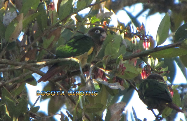 Brown-breasted Parakeet