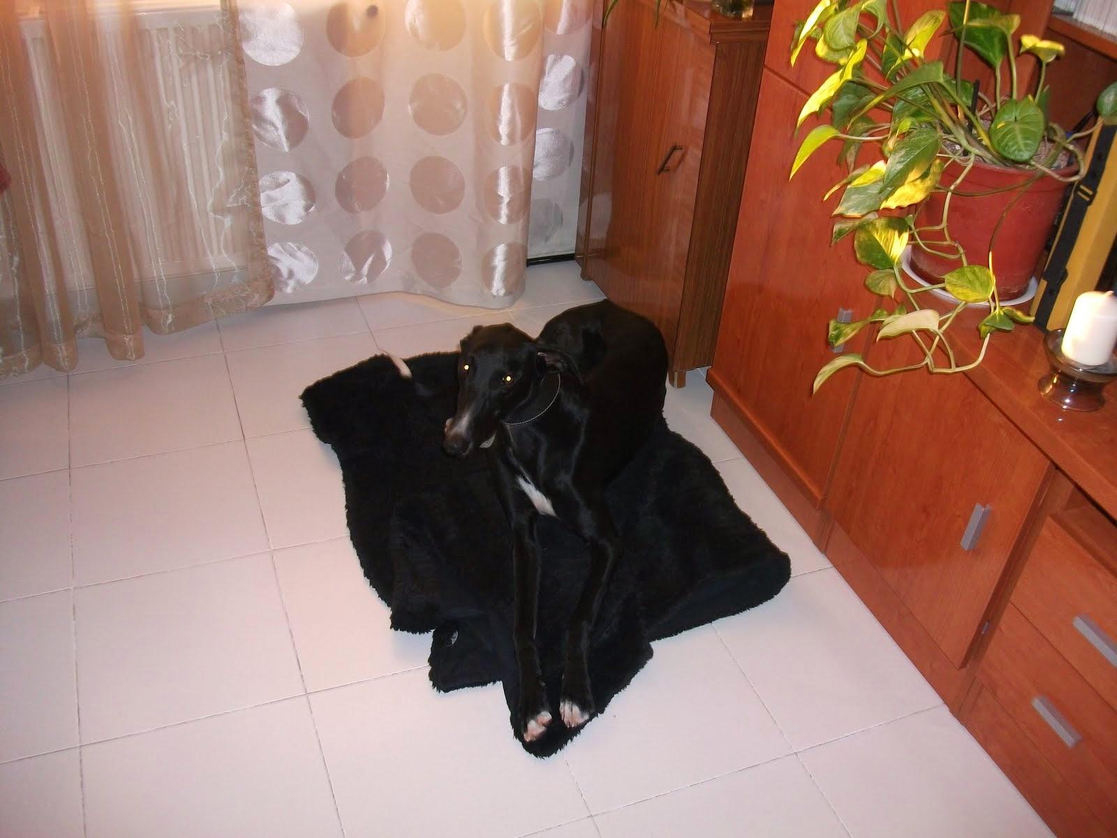 Galgo negro