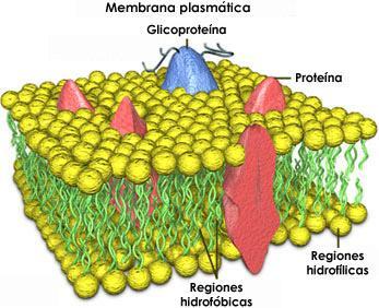 Membranas celulares estructura de la membrana for Membrana para hidropack