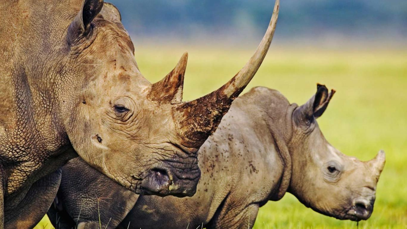 Worlds Most Dangerous Animals  - World Top Ten Most Dangerous Rhinoceros Animal Safaris Big Five Big Cats Animal Attacks News Picture