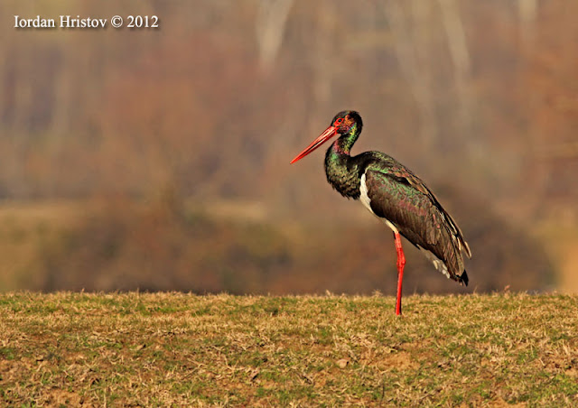 birdwatching and wildlife photography trip guided by Iordan Hristov