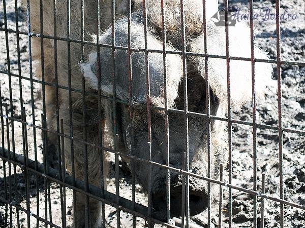 porc mangalita zoo braila