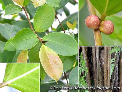 Malayan Banyan (Ficus microcarpa)