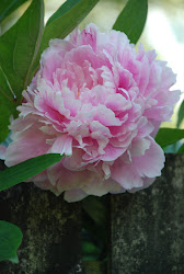 Peonies, for good luck and fortune
