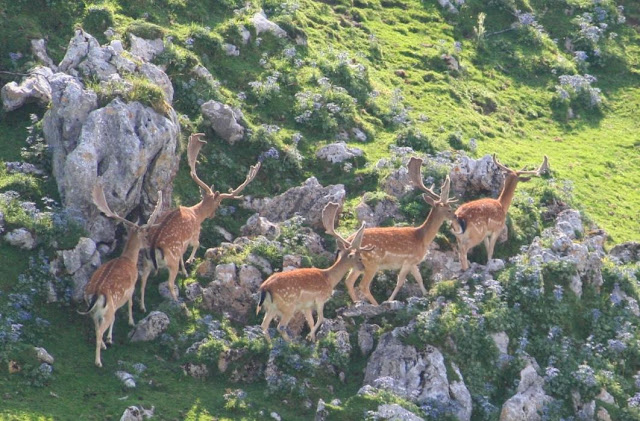 Fallow Deer (Sueve)