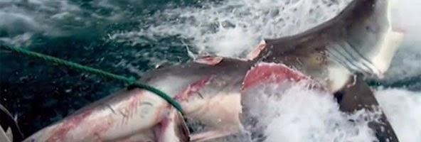 Monstro que devorou tubarão