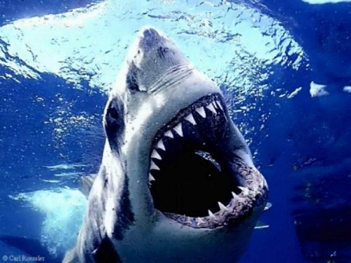 yang terkenal mengerikan. Ia merupakan karnivora besar di laut lepas