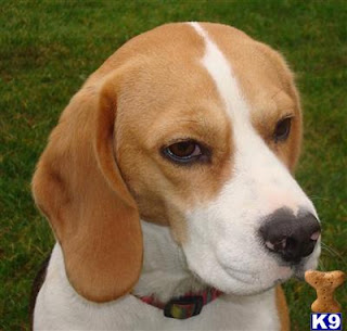 Beagle Puppies | Beagle Puppy