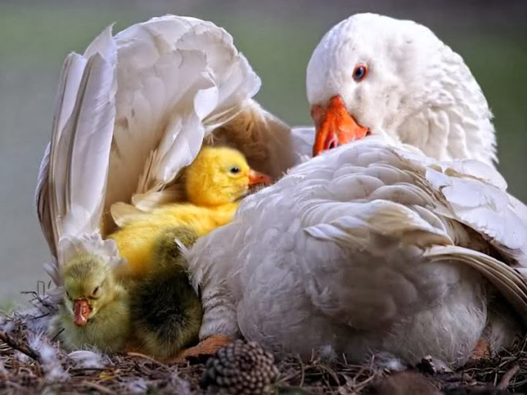"<img src=""http://4.bp.blogspot.com/-QnLGRconW5E/UtmeujRXOMI/AAAAAAAAIt8/_DMWBNytlqk/s1600/ducks-swan-family.jpeg"" alt=""ducks swan family"" />"