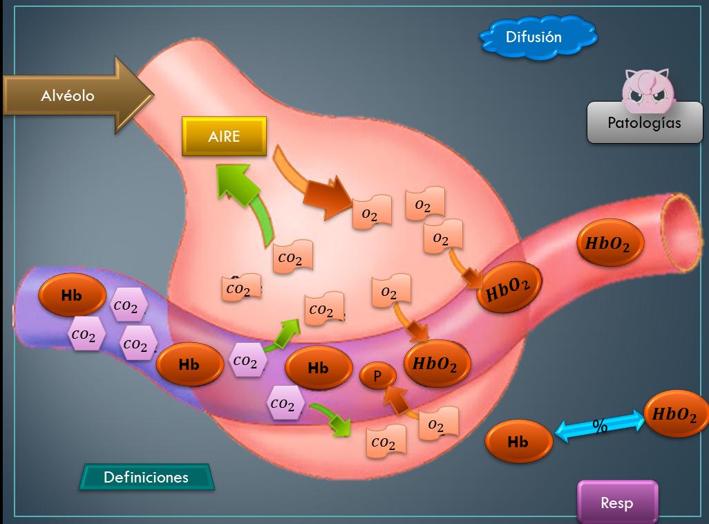 Alveolos | Química Clínica III Intercambio de gases