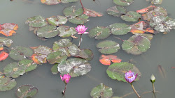 Feb 26 and the Water Lilies are out