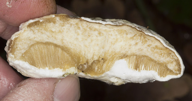 Bolete Mould, Hypomeces chrysospermus.  Cross-section of infected Boletus.  Hayes Common, 25 December 2011.