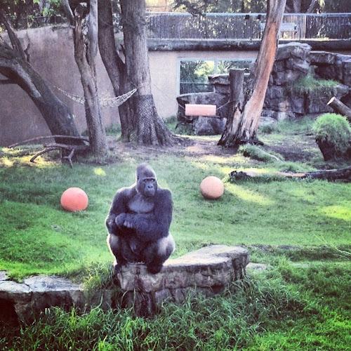 San Francisco Zoo - Silverback Gorilla - Oscar
