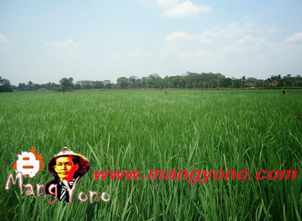 Ini tanaman padi Admin, agak bagus khan, mudah - mudahan saja tumbuh mulus dan berbuah, agar bisa panen.