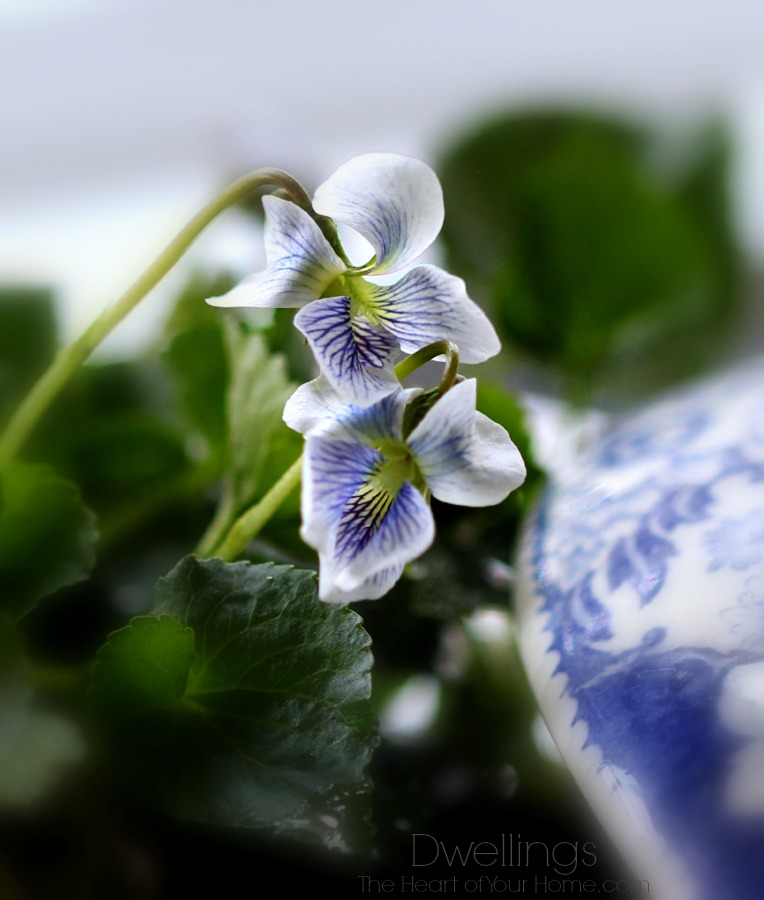 white and purple violets