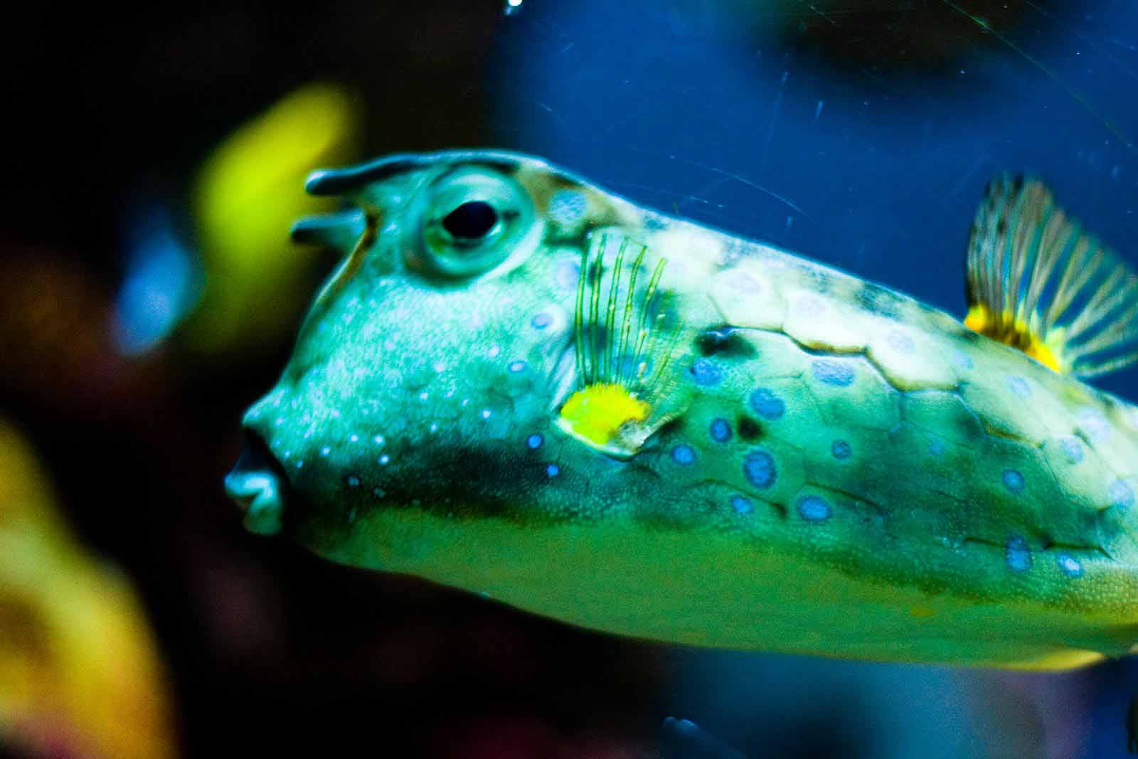 Cowfish Pictures | HD Wallpapers Pics