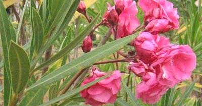 Toxicologia plantas toxicas ornamentales comunes tropicales for Plantas ornamentales tropicales