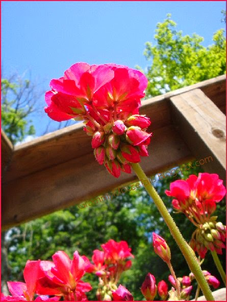 geranium neon red - hgtv so amazing™ - flower gardening photography