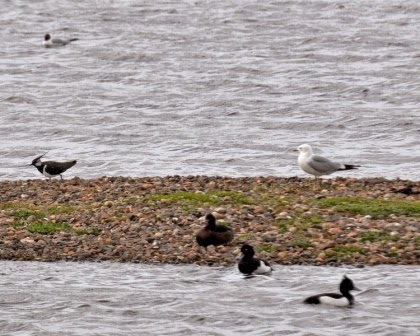 Tufted ducks, Lapwing and Gull