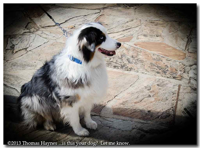 Blue Eyed Sheep Dog, side view sittting
