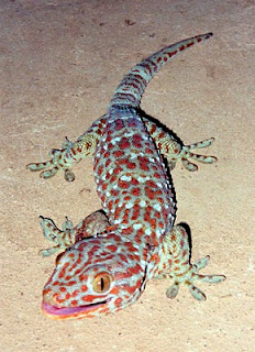 Lucky Charms Animals In The World Gecko