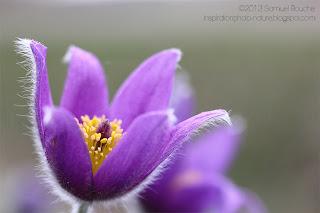 Photo macro anémone pulsatille fleur violette
