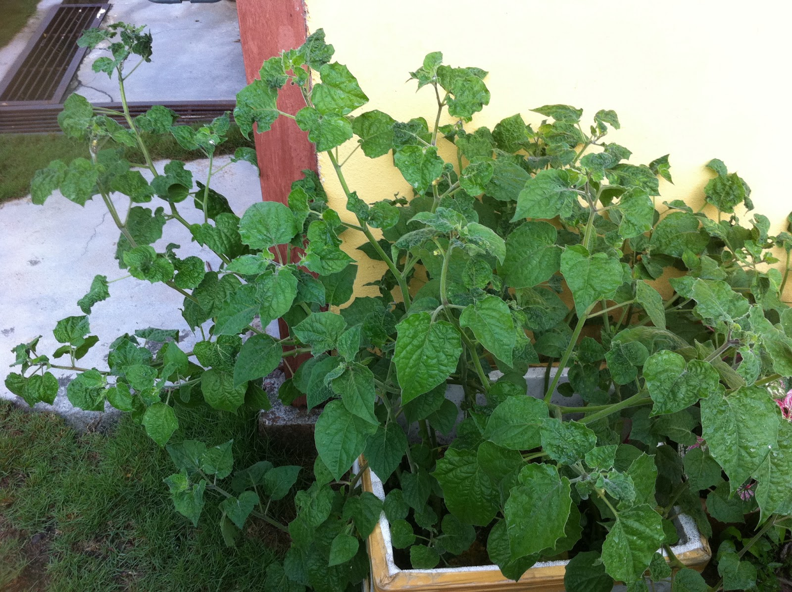 how to grow cape gooseberry in pots