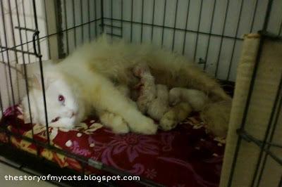 anak kucing angora putih