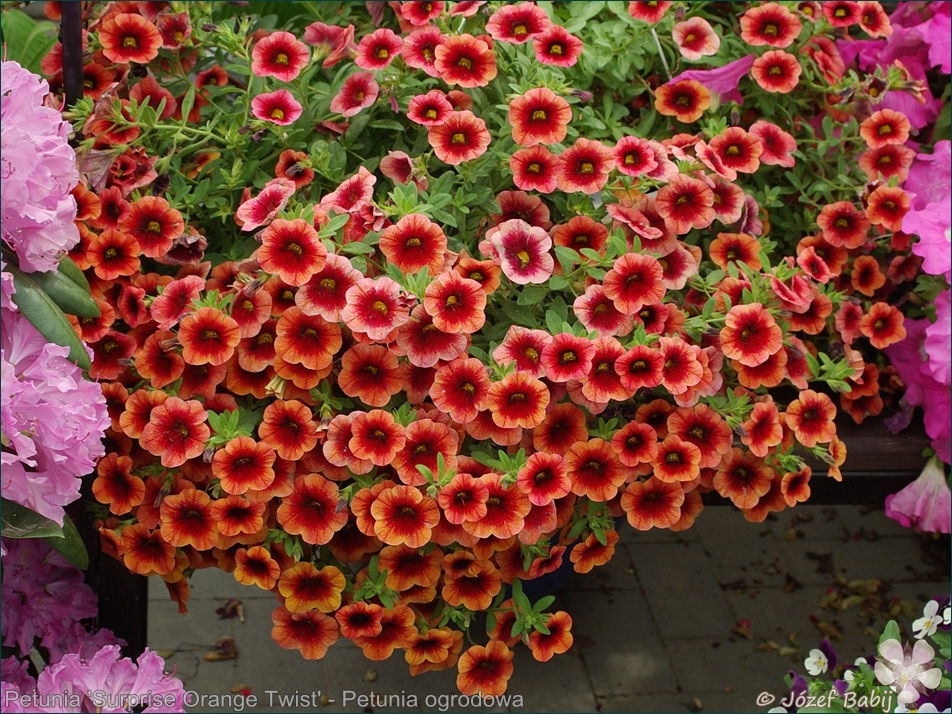 Petunia 'Surprise Orange Twist' - Petunia ogrodowa