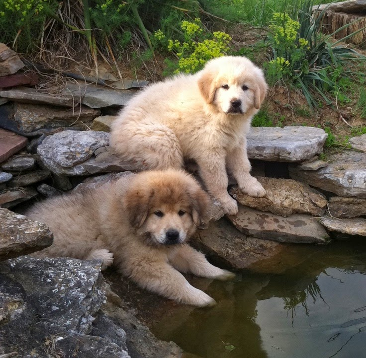 See more Great Pyrenees: 4 cups of dog food a day http://cutepuppyanddog.blogspot.com/