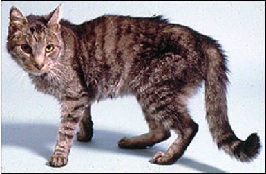 Can Cats Become Hypothyroid After Treatment For Hyperthyroidism