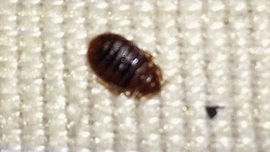adult bed bug, bedbug on mattress, bed bugs atlanta georgia,