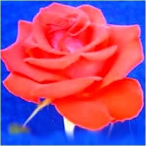 Macam-Macam Bunga Mawar di Indonesia
