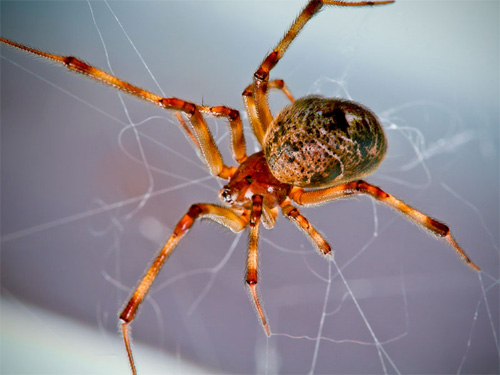 tò vò nuôi con nhện