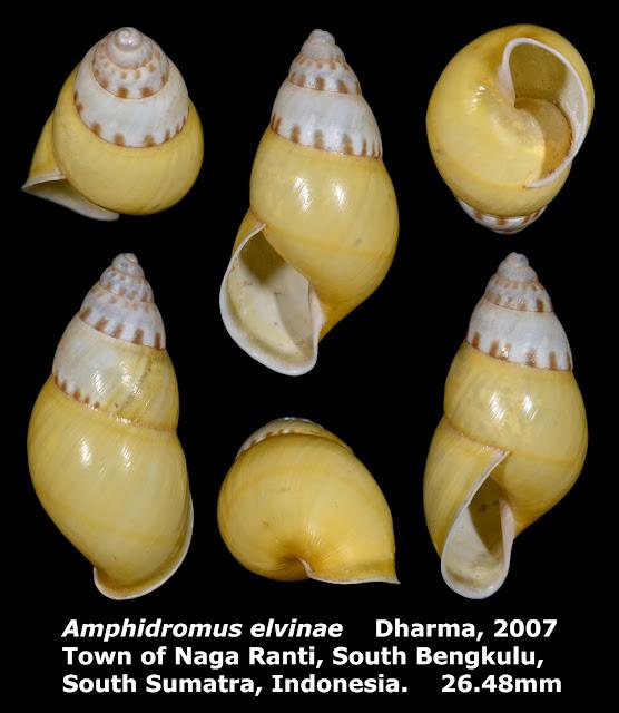 Amphidromus elvinae 26.48mm