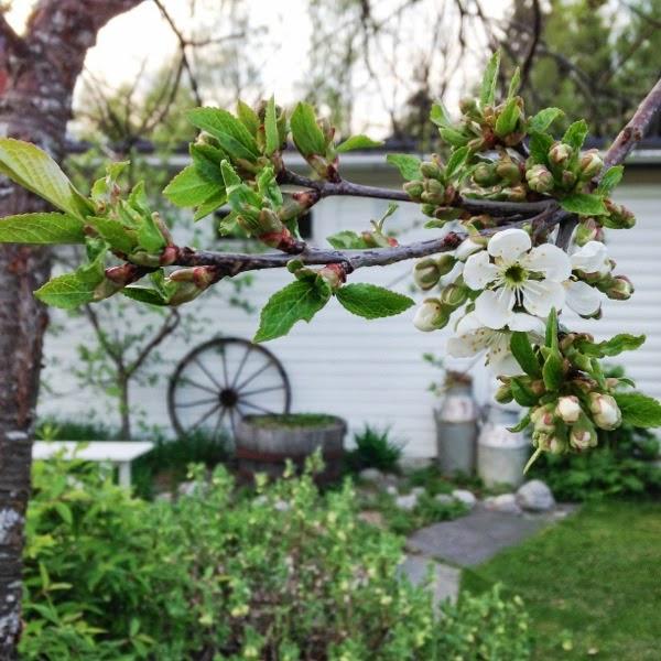 körsbärsblom trädgård hannashantverk
