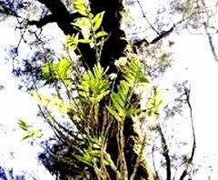 anggrek yang hidup menempel di pohon.