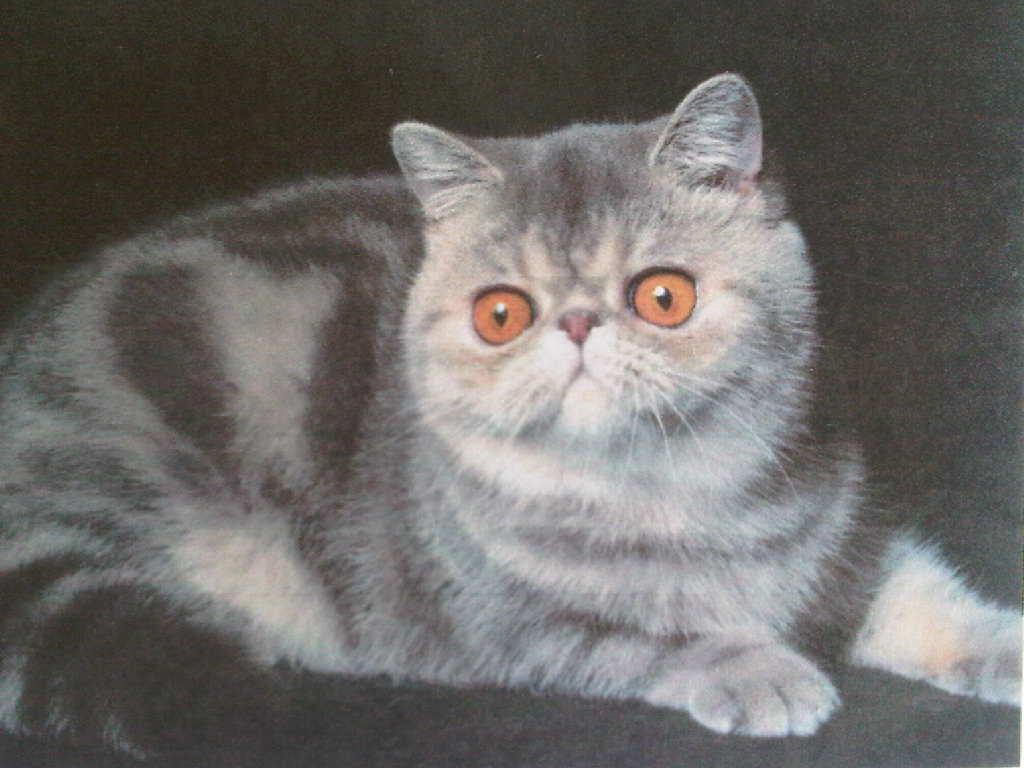 Prabu Cattery 10 Fakta Menarik Kucing Exo Si Kucing