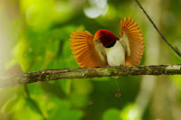Bird-of-paradise Picture and Photo 12