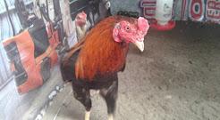 Jual Ayam Bangkok Aduan di Jambi