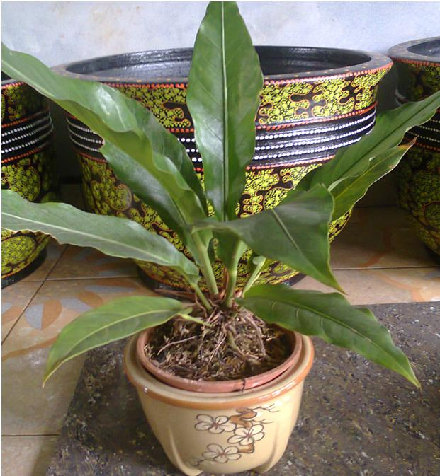 tanaman anthorium untuk dekorasi meja kerja atau receipsionist