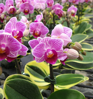 "miniature moth orchid - doritaenopsis sogo vivien ""marginata"""