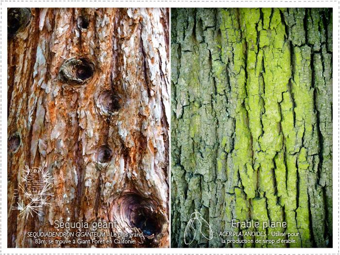 Séquoia - Erable