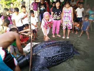 Leatherback sea turtle caught in Sta Rita Samar