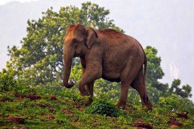 Elephant at Simlipal National Park,Orissa