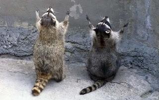Waschbären beten