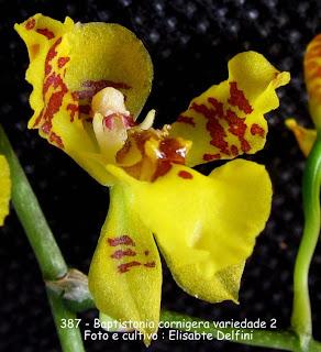 Baptistonia cornigera - variedade 2 do blogdabeteorquideas