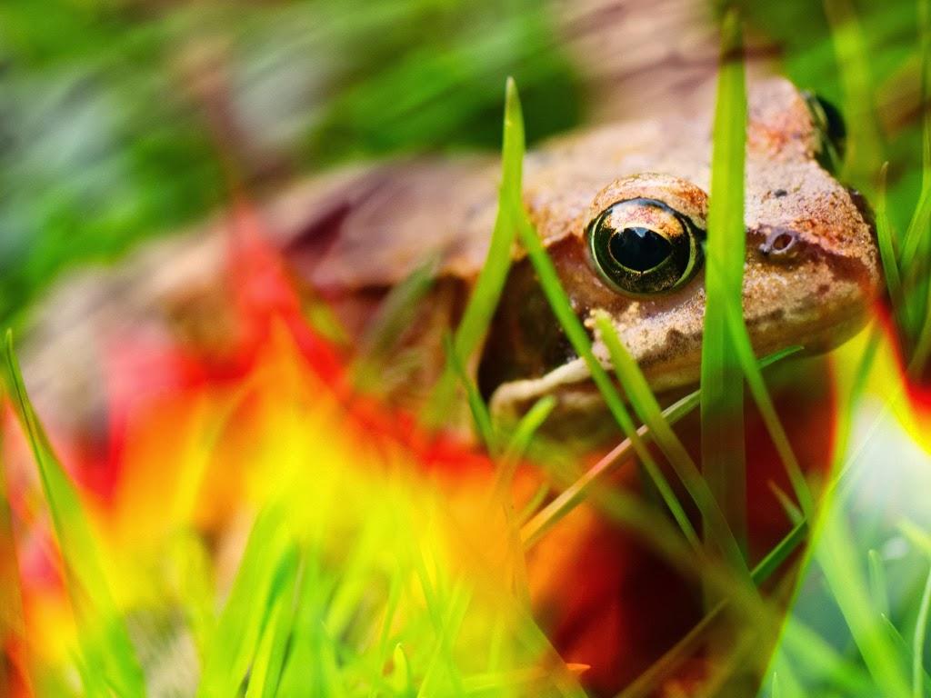 "<img src=""http://4.bp.blogspot.com/-QtYqhkQbJZE/UtkH8qXHPDI/AAAAAAAAIZ0/WNeMjyPnK7o/s1600/animal-wallpapers-reptiles-frog.jpeg"" alt=""reptiles wallpapers"" />"